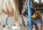 酪農(搾乳・哺乳)体験
