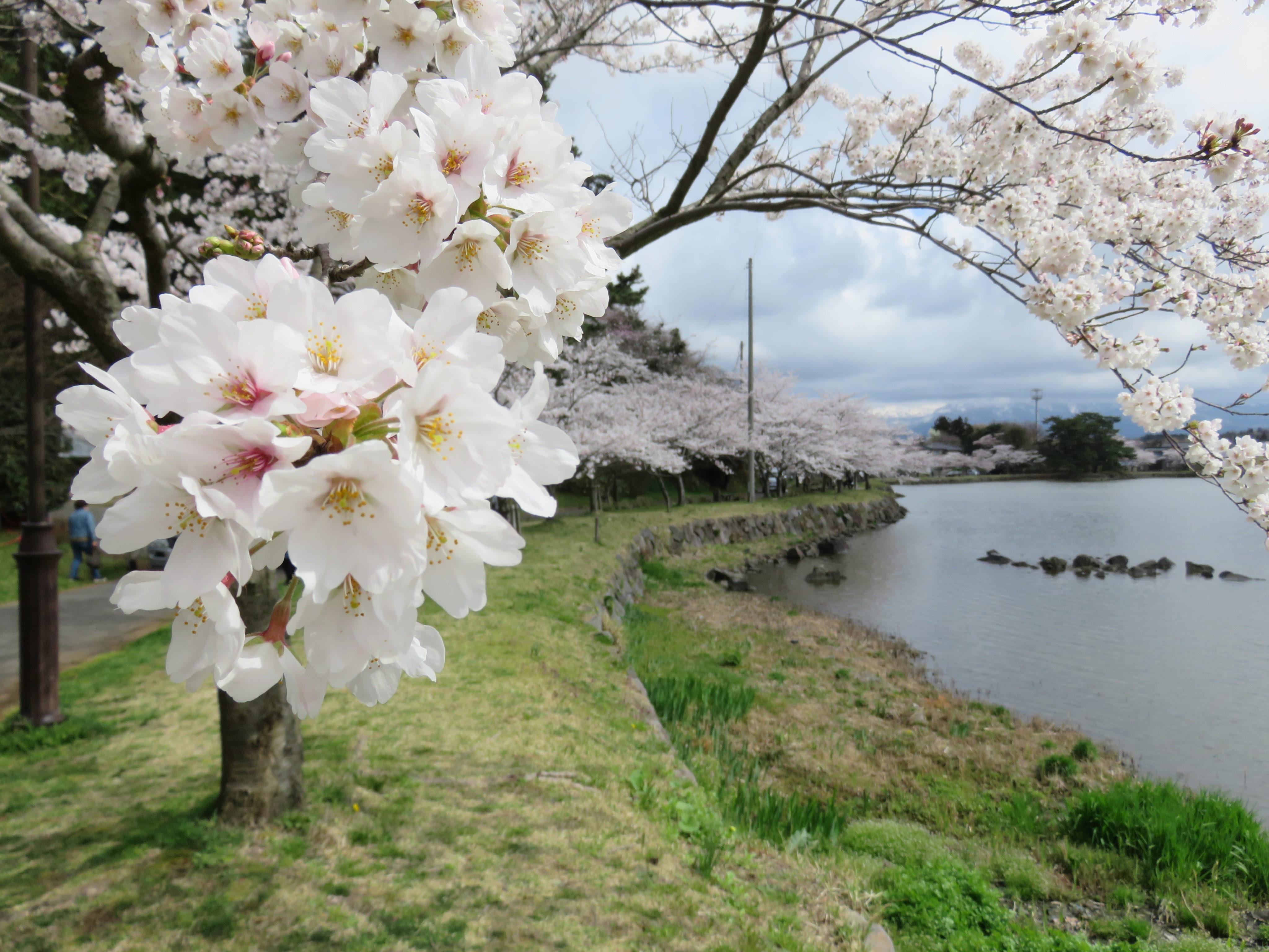 由利地域内で桜が見ごろを迎えています!!
